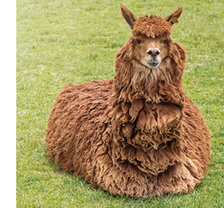 Fluffy llama sitting in the grass